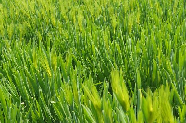 zeleno zito
