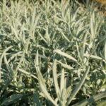 Lavanda biljka upotreba i lekovitost